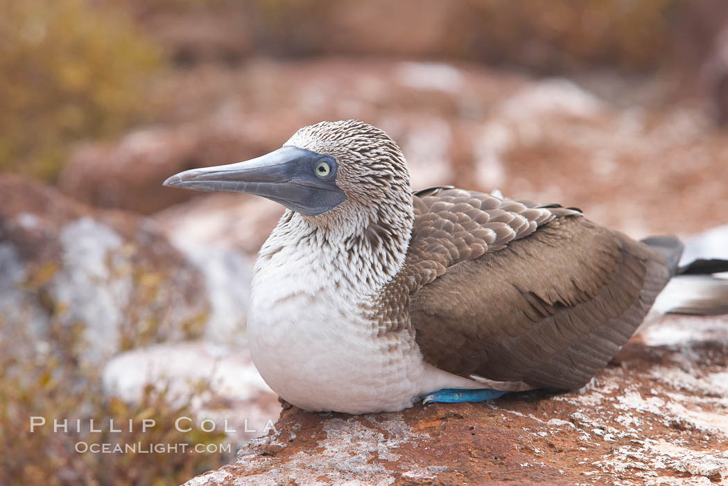 Blue-footed booby adult. North Seymour Island, Galapagos Islands, Ecuador, Sula nebouxii, natural history stock photograph, photo id 16680