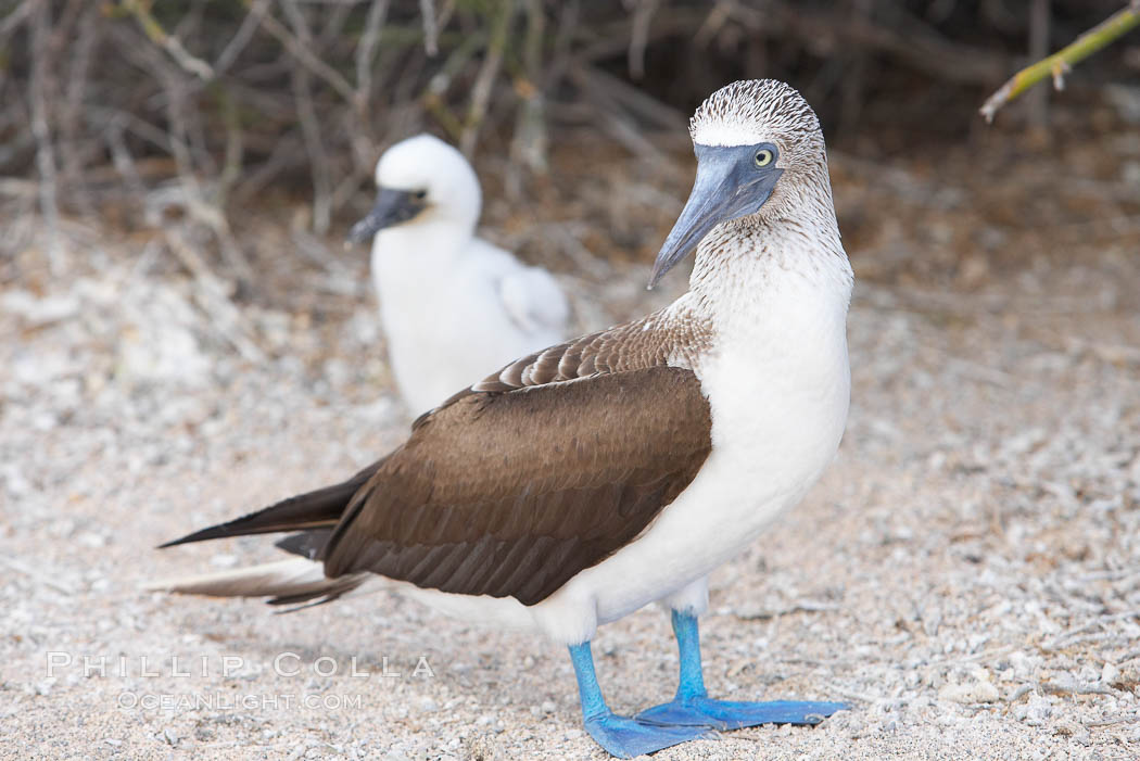Blue-footed booby adult and chick. North Seymour Island, Galapagos Islands, Ecuador, Sula nebouxii, natural history stock photograph, photo id 16677