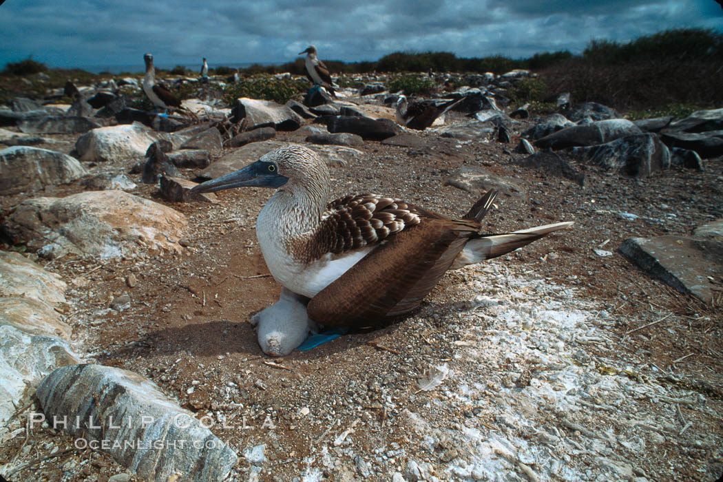 Blue-footed booby on nest, Punta Suarez. Hood Island, Galapagos Islands, Ecuador, Sula nebouxii, natural history stock photograph, photo id 01816