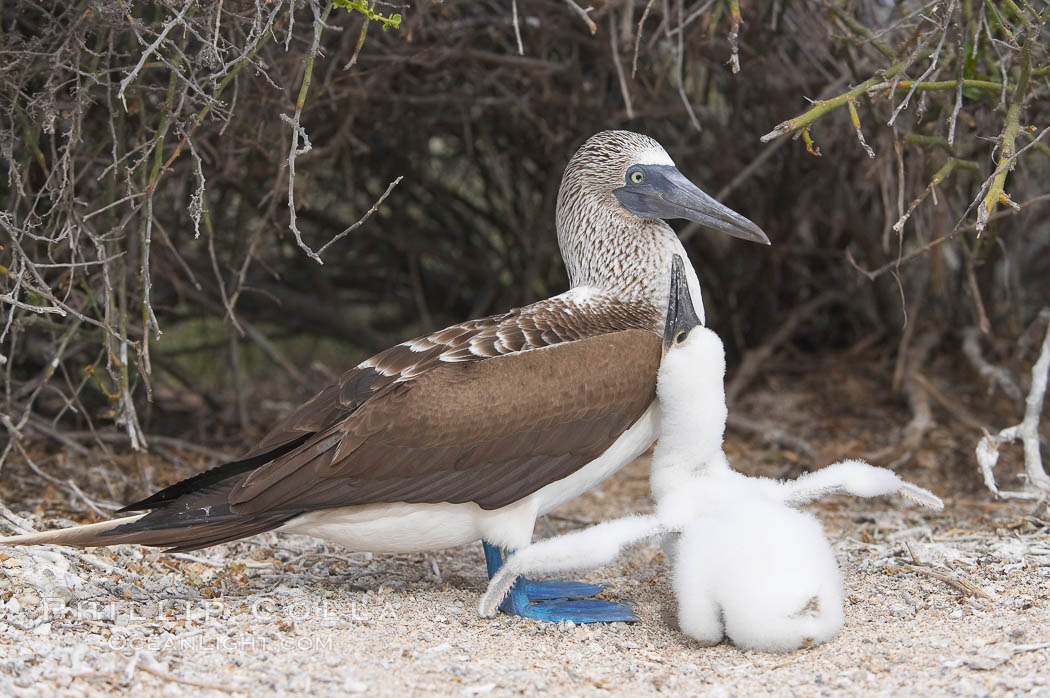 Blue-footed booby adult and chick. North Seymour Island, Galapagos Islands, Ecuador, Sula nebouxii, natural history stock photograph, photo id 16659