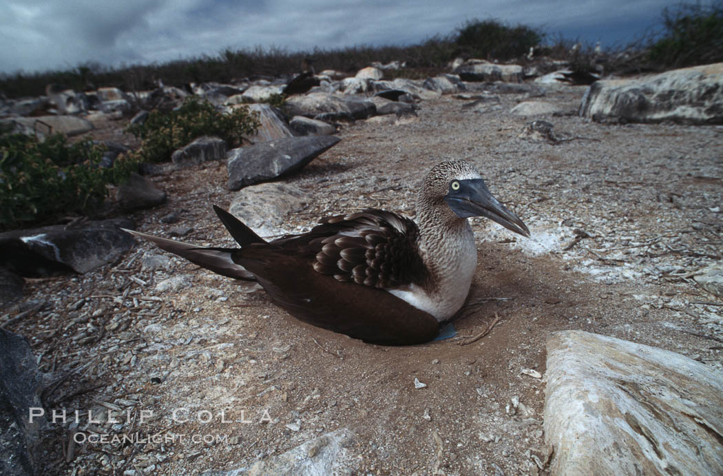 Blue-footed booby on nest, Punta Suarez. Hood Island, Galapagos Islands, Ecuador, Sula nebouxii, natural history stock photograph, photo id 01817