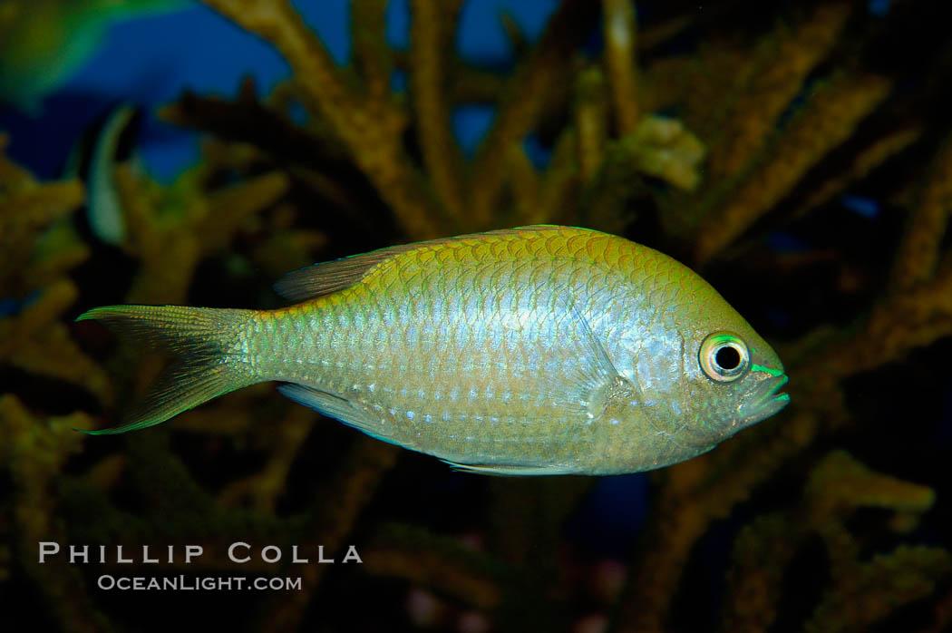 Blue green chromis., Chromis viridis, natural history stock photograph, photo id 09437