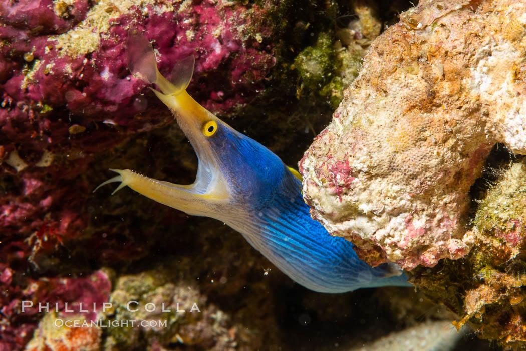 Blue ribbon eel, Rhinomuraena quaesita, leafnose moray eel, Fiji, Rhinomuraena quaesita, Namena Marine Reserve, Namena Island