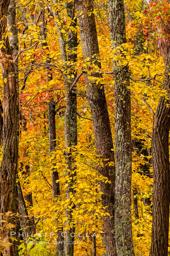 Blue Ridge Parkway Fall Colors, Asheville, North Carolina. Asheville, North Carolina, USA, natural history stock photograph, photo id 34644