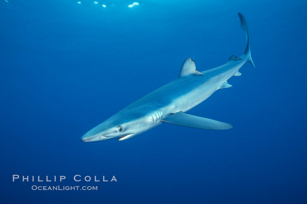 Blue shark underwater in the open ocean. San Diego, California, USA, Prionace glauca, natural history stock photograph, photo id 00584