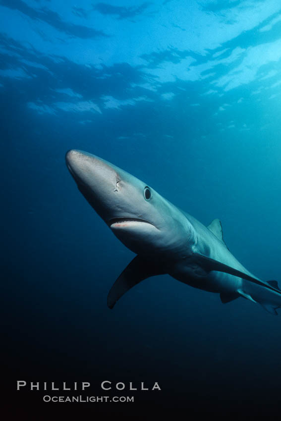 Blue shark. San Diego, California, USA, Prionace glauca, natural history stock photograph, photo id 00588