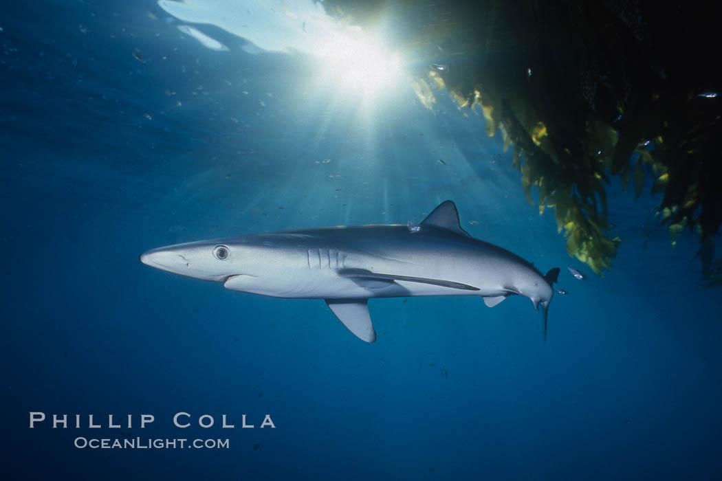 Blue shark and offshore drift kelp. San Diego, California, USA, Prionace glauca, Macrocystis pyrifera, natural history stock photograph, photo id 01082