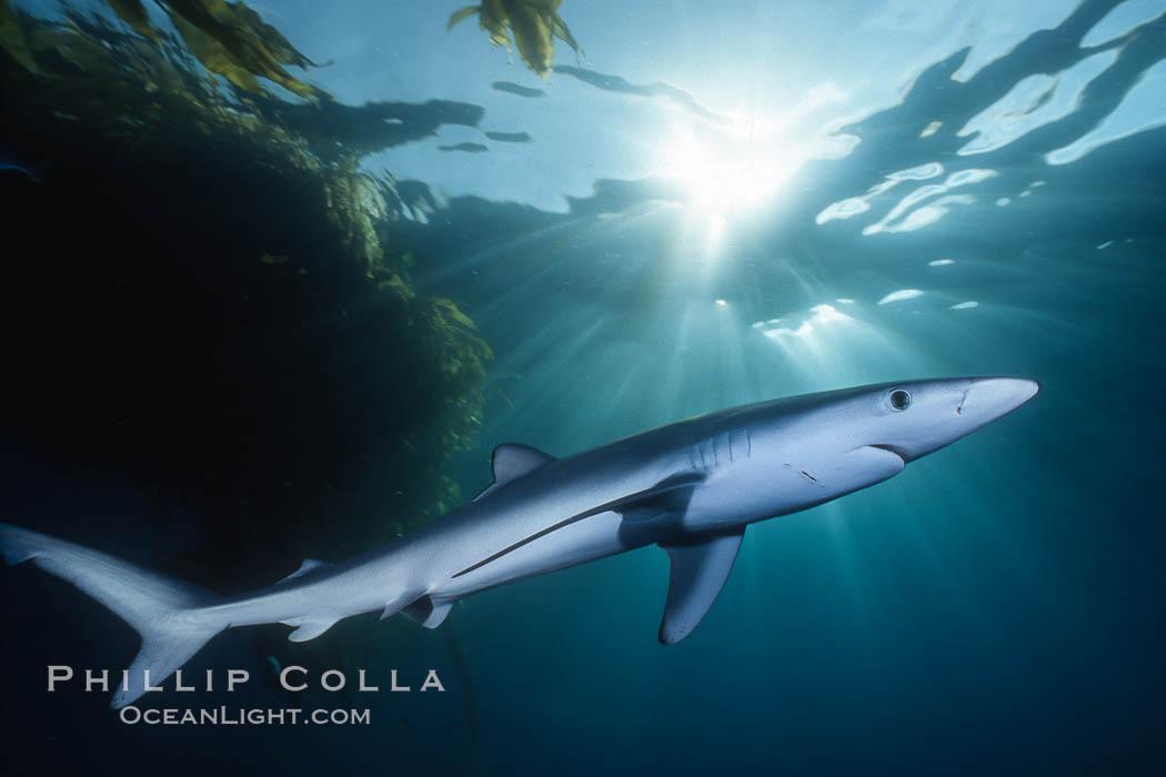 Blue shark. San Diego, California, USA, Prionace glauca, natural history stock photograph, photo id 01152