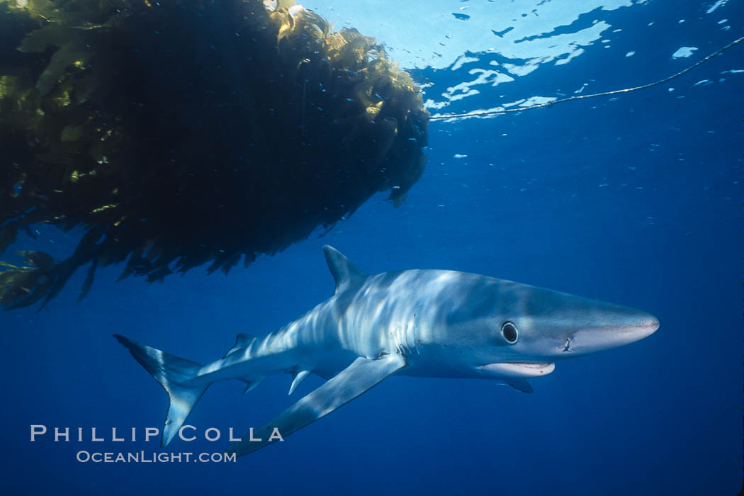 Blue shark, open ocean. San Diego, California, USA, Prionace glauca, natural history stock photograph, photo id 02291