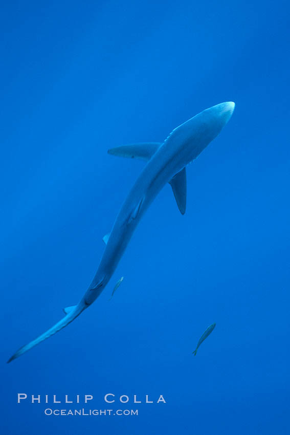Blue shark, open ocean. San Diego, California, USA, Prionace glauca, natural history stock photograph, photo id 03303