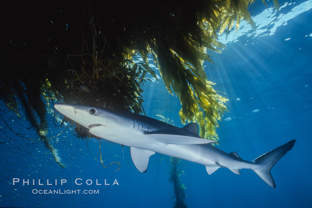 Blue shark and offshore drift kelp paddy, open ocean. San Diego, California, USA, Prionace glauca, Macrocystis pyrifera, natural history stock photograph, photo id 01153
