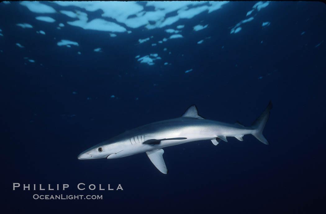 Blue shark, Baja California., Prionace glauca, natural history stock photograph, photo id 04846