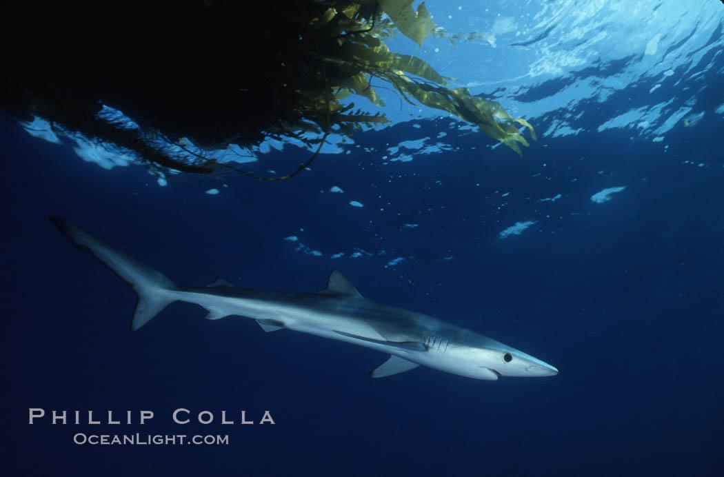 Blue shark, Baja California., Prionace glauca, natural history stock photograph, photo id 04866