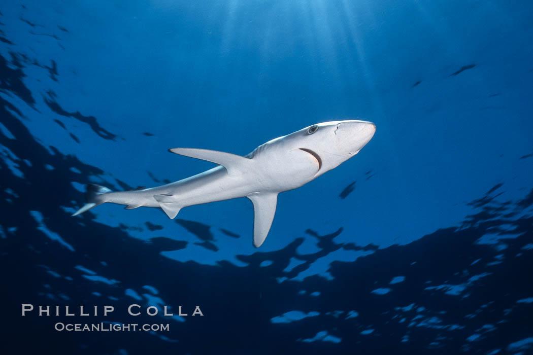 Blue shark, Baja California., Prionace glauca, natural history stock photograph, photo id 04870