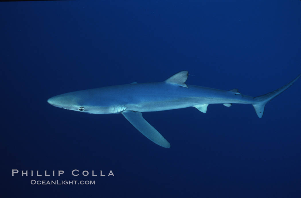Blue shark, Baja California., Prionace glauca, natural history stock photograph, photo id 04878