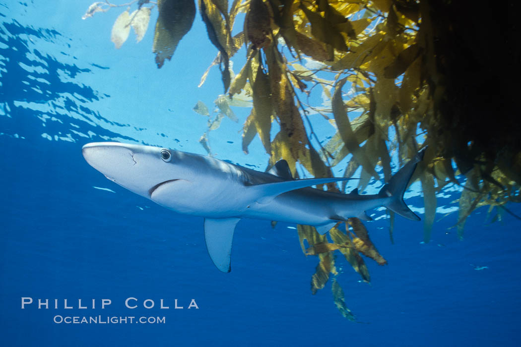 Blue shark and offshore drift kelp paddy, open ocean. Baja California, Mexico, Prionace glauca, natural history stock photograph, photo id 04864