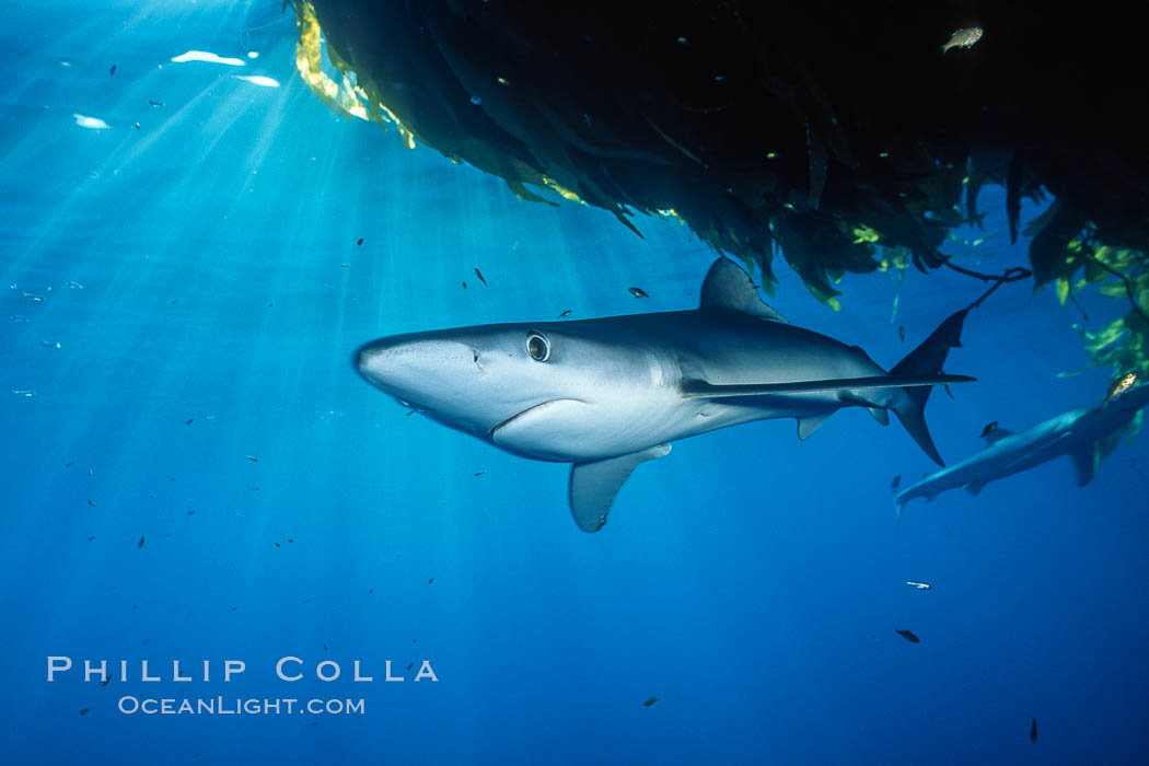 Blue shark and offshore drift kelp paddy, open ocean. Baja California, Mexico, Prionace glauca, natural history stock photograph, photo id 04876