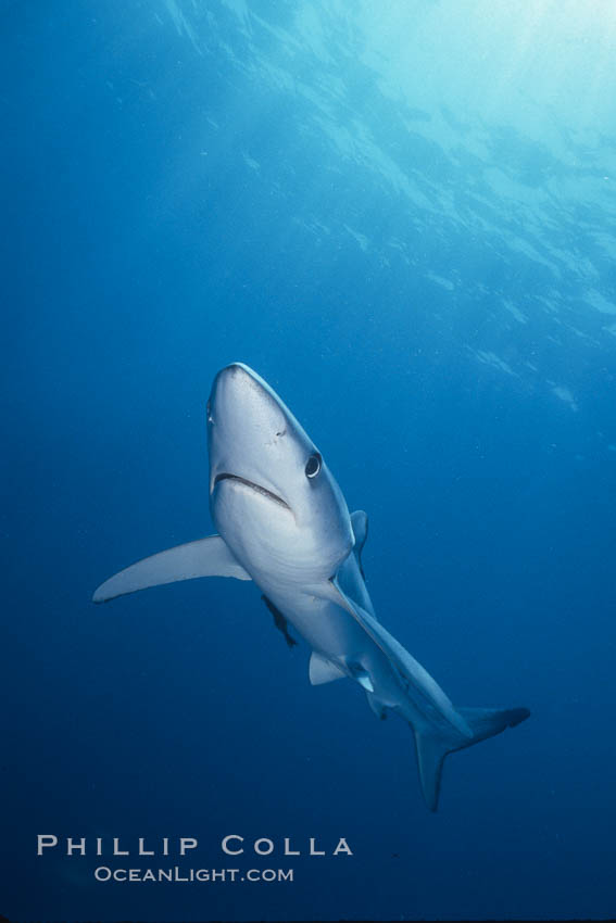 Blue shark, Baja California., Prionace glauca, natural history stock photograph, photo id 04855