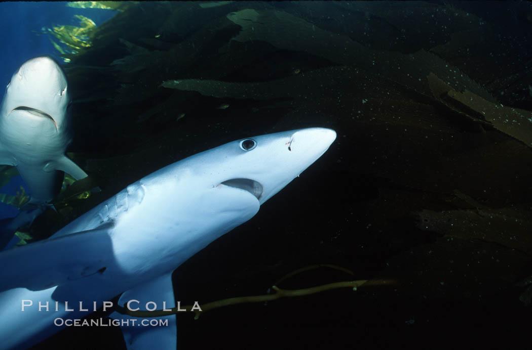 Blue shark, Baja California., Prionace glauca, natural history stock photograph, photo id 04873