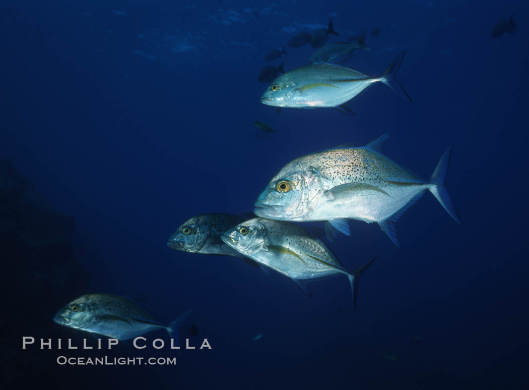Blue spotted jack (also blue jack, blue trevally, bluefin trevally), Revilligigedos., Caranx melampygus, natural history stock photograph, photo id 05765