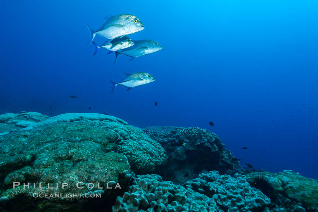 Blue-spotted jacks and coral reef, Clipperton Island. France, Porites lobata, natural history stock photograph, photo id 33025