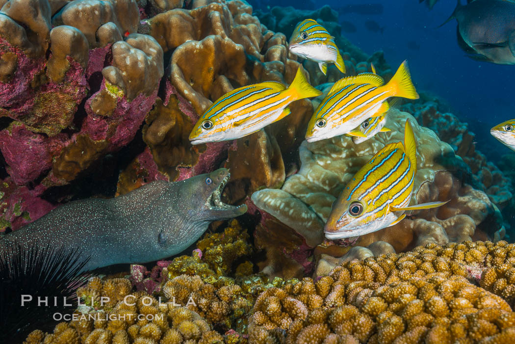 Blue-striped Snapper and Panamic Green Moray Eel on coral reef, Clipperton Island. Clipperton Island, France, Gymnothorax castaneus, natural history stock photograph, photo id 32957