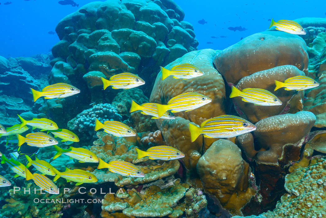 Blue-striped Snapper over coral reef, Lutjanus kasmira, Clipperton Island. Clipperton Island, France, natural history stock photograph, photo id 33044