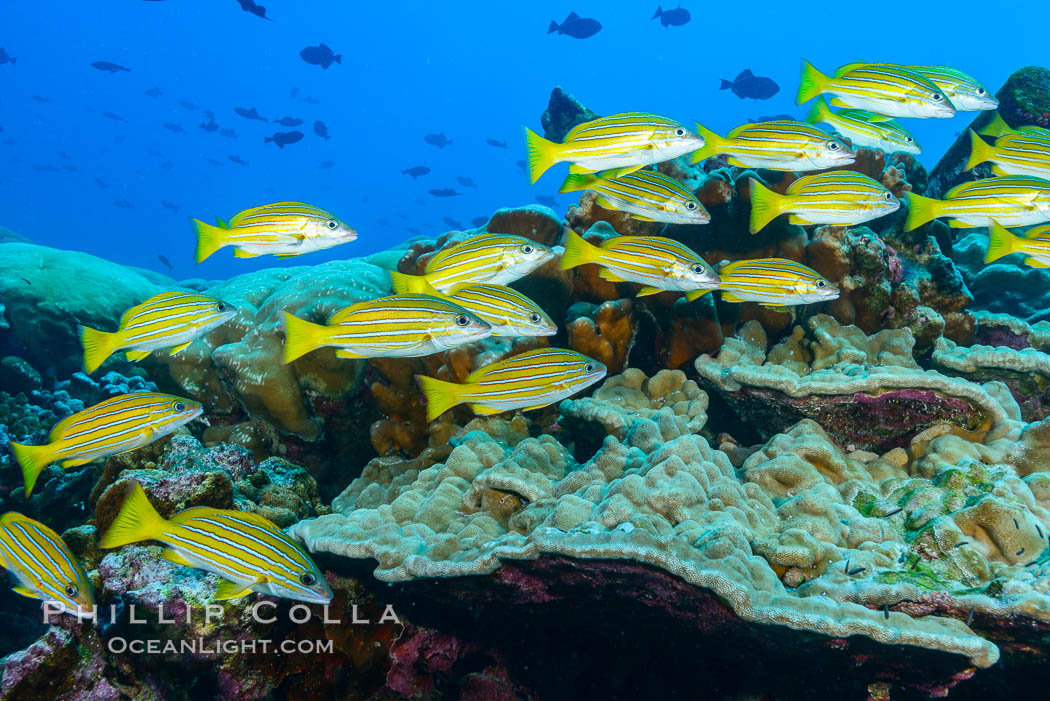 Blue-striped Snapper over coral reef, Lutjanus kasmira, Clipperton Island. France, natural history stock photograph, photo id 33005