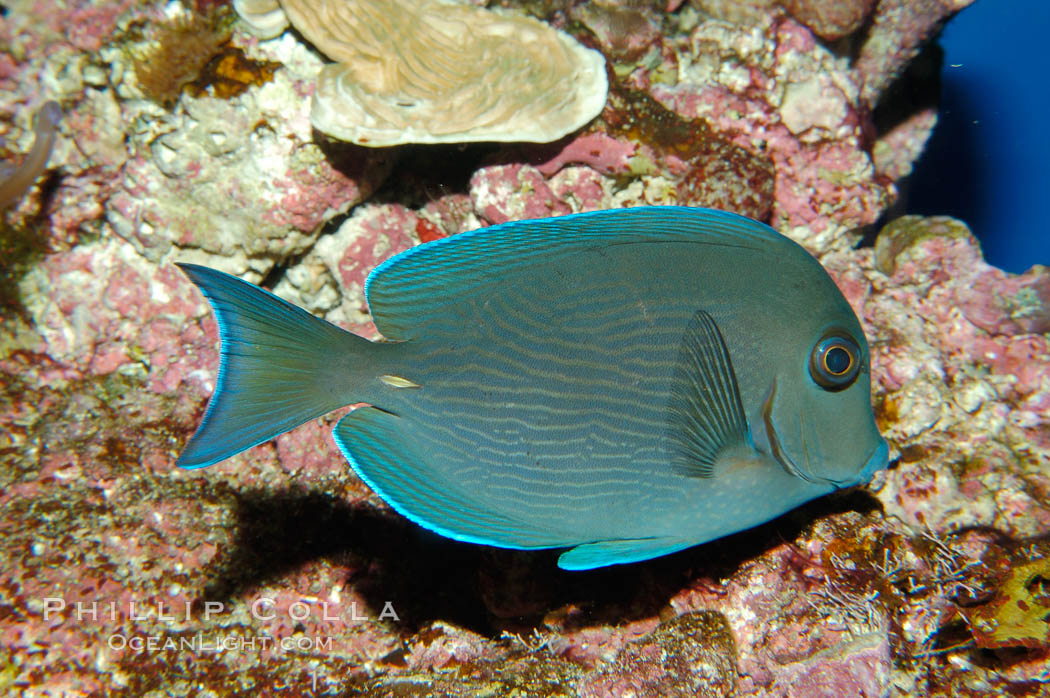Blue tang., Acanthurus coeruleus, natural history stock photograph, photo id 08678