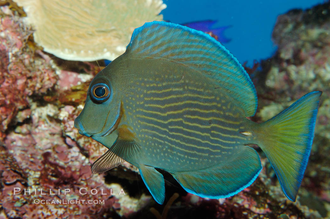 Image 08677, Blue tang., Acanthurus coeruleus, Phillip Colla, all rights reserved worldwide. Keywords: acanthurus coeruleus, animal, atlantic, blue tang surgeonfish, color and pattern, creature, fish, fish anatomy, marine, marine fish, nature, ocean, sea, stripe, tang, teleost fish, underwater, wildlife.