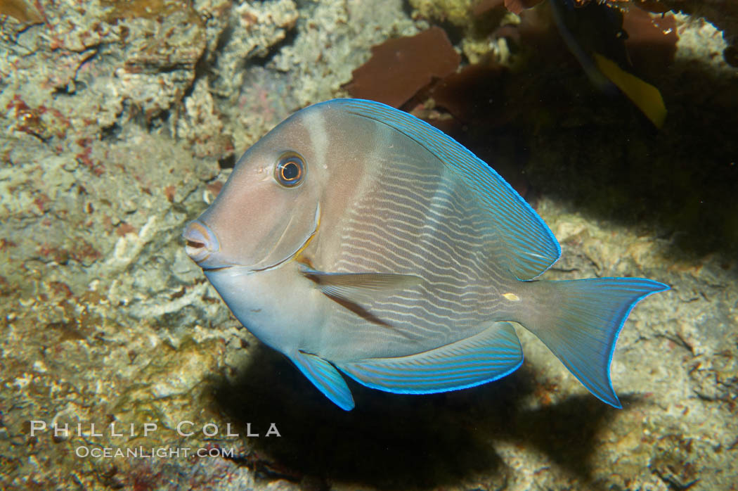 Blue tang, showing remnants of vertical bars characteristic of subadults., Acanthurus coeruleus, natural history stock photograph, photo id 11041