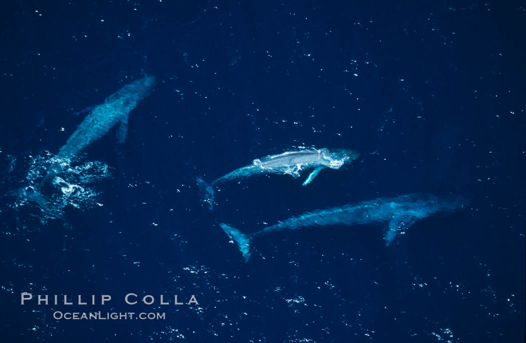 Blue whales: mother/calf pair w/ adult,  Baja California (Mexico)., Balaenoptera musculus, natural history stock photograph, photo id 03370