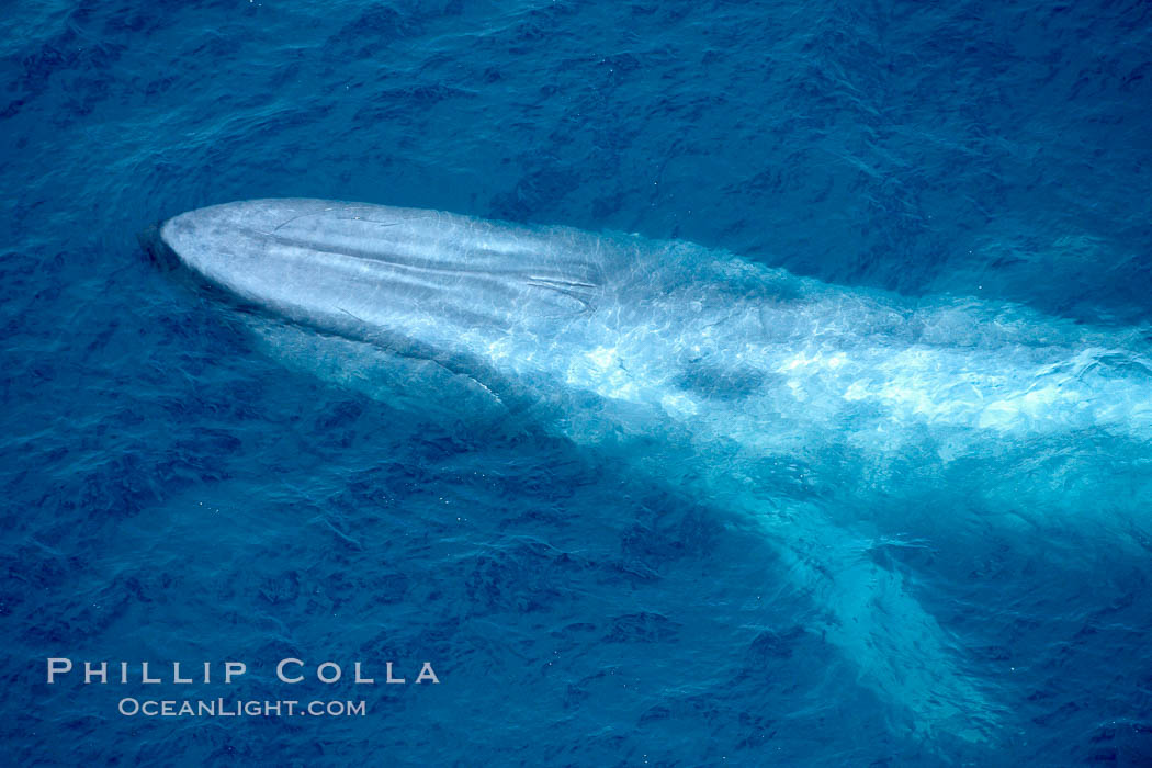 Blue whale. The sleek hydrodynamic shape of the enormous blue whale allows it to swim swiftly through the ocean, at times over one hundred miles in a single day. La Jolla, California, USA, Balaenoptera musculus, natural history stock photograph, photo id 21250