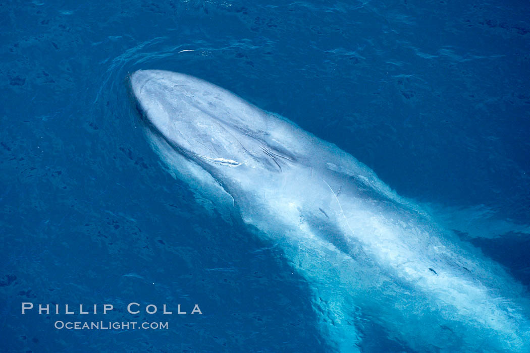 Blue whale. The sleek hydrodynamic shape of the enormous blue whale allows it to swim swiftly through the ocean, at times over one hundred miles in a single day. La Jolla, California, USA, Balaenoptera musculus, natural history stock photograph, photo id 21268