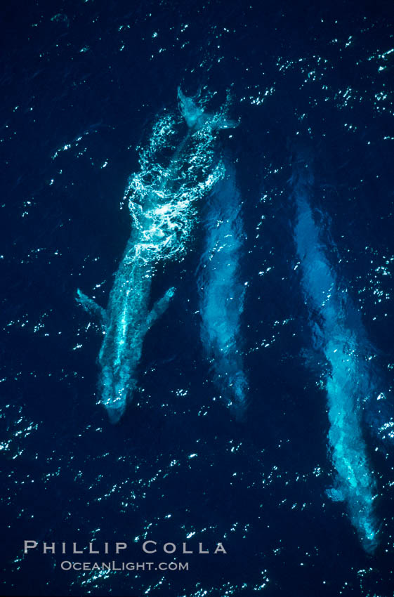 Image 03375, Four blue whales (including calf) socializing,  Baja California (Mexico)., Balaenoptera musculus