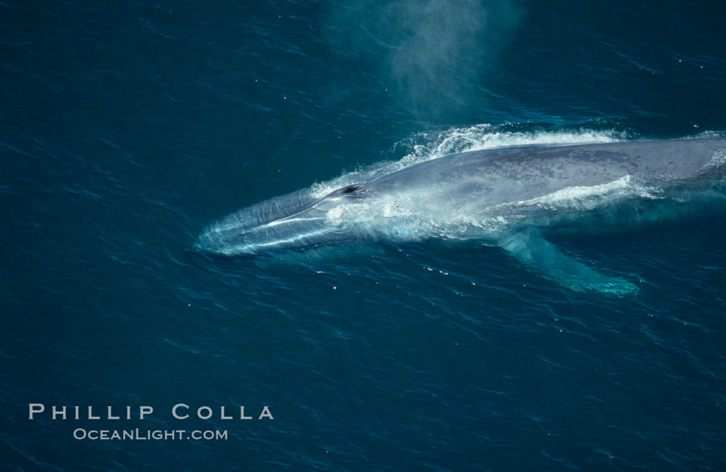 Blue whale, blowhole open., Balaenoptera musculus, natural history stock photograph, photo id 02178