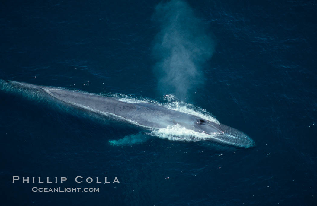 Blue whale, blowhole open., Balaenoptera musculus, natural history stock photograph, photo id 02179