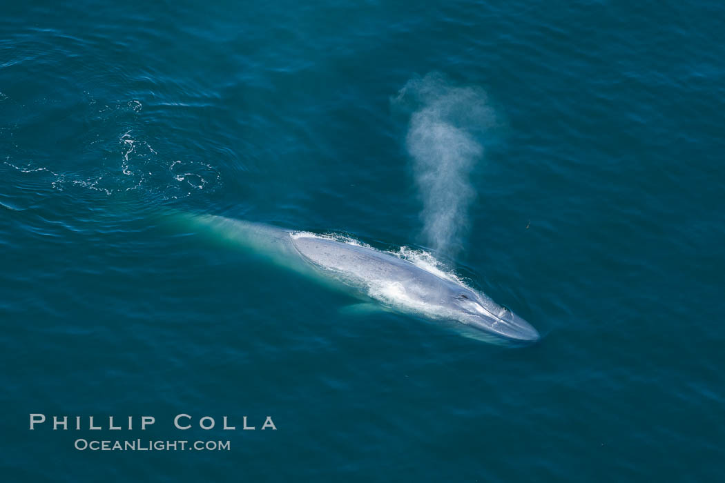 Blue whale, exhaling as it surfaces from a dive, aerial photo.  The blue whale is the largest animal ever to have lived on Earth, exceeding 100' in length and 200 tons in weight. Redondo Beach, California, USA, Balaenoptera musculus, natural history stock photograph, photo id 25961