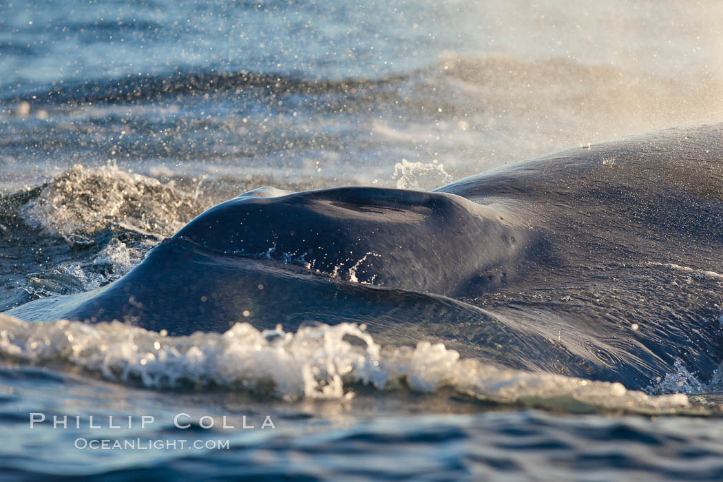 A blue whale exhales. The blow, or spout, of a blue whale can reach 30 feet into the air. The blue whale is the largest animal ever to live on earth. La Jolla, California, USA, natural history stock photograph, photo id 27145