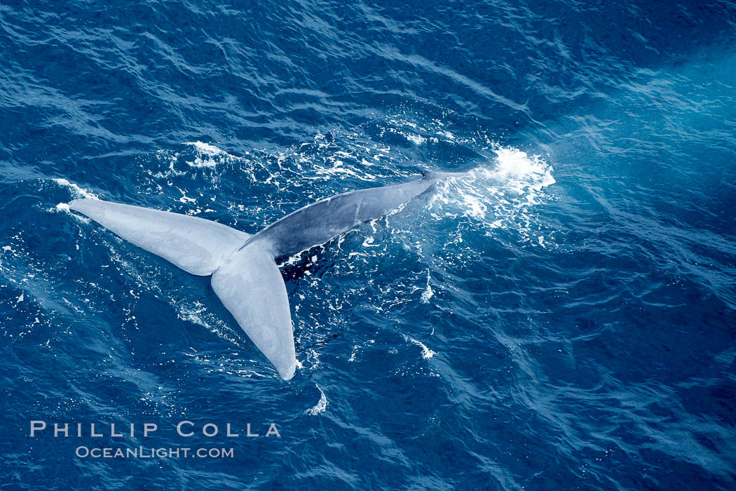 Blue whale fluking.  An enormous blue whale raises its powerful fluke (tail) high out of the water as it makes a steep dive into the open ocean. La Jolla, California, USA, Balaenoptera musculus, natural history stock photograph, photo id 21261