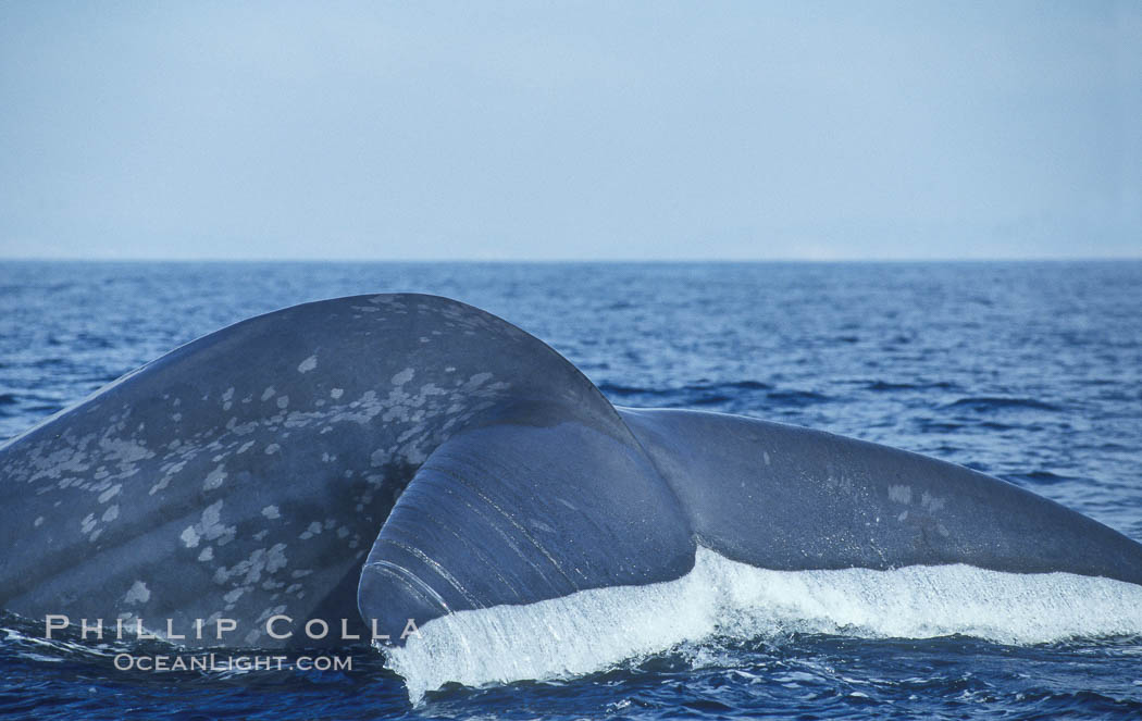 An enormous blue whale raises its fluke (tail) high out of the water before diving.  Open ocean offshore of San Diego. San Diego, California, USA, Balaenoptera musculus, natural history stock photograph, photo id 07554
