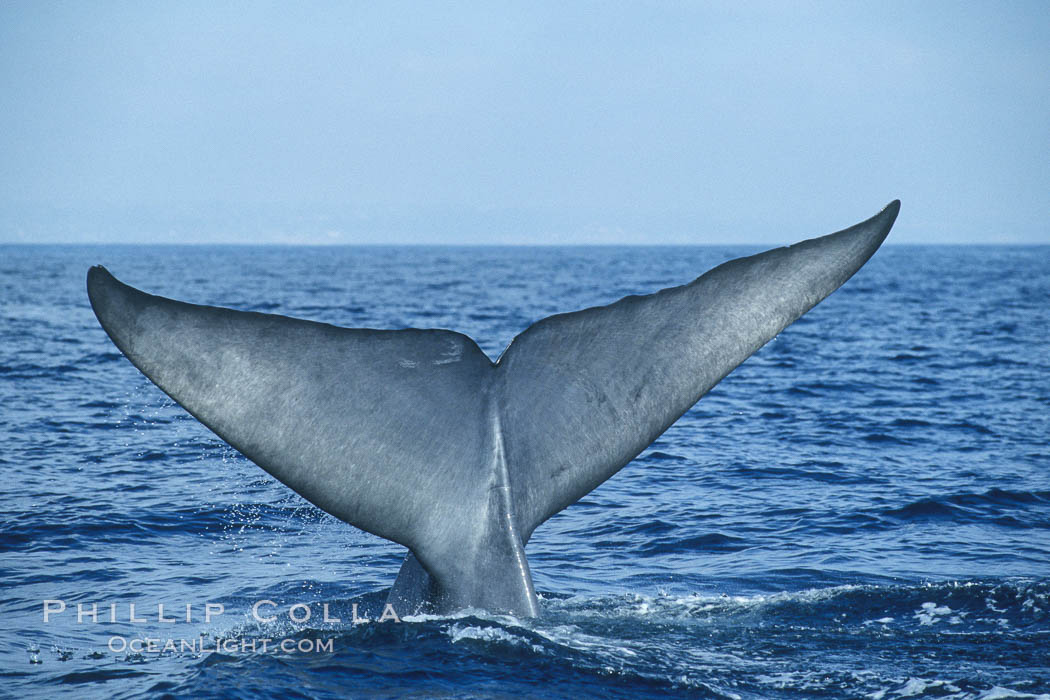 An enormous blue whale raises its fluke (tail) high out of the water before diving.  Open ocean offshore of San Diego. San Diego, California, USA, Balaenoptera musculus, natural history stock photograph, photo id 07558