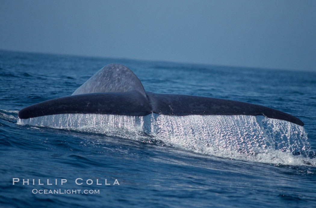 Image 03336, Blue whale fluking up, raising its tail, before a dive in the open ocean., Balaenoptera musculus