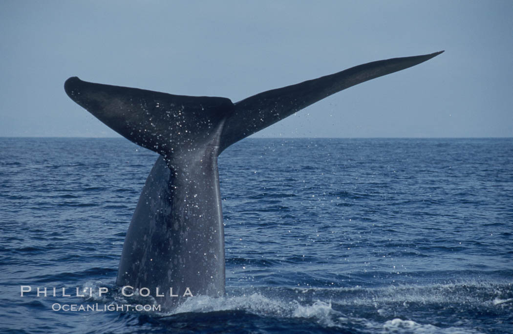 An enormous blue whale raises its fluke (tail) high out of the water before diving.  Open ocean offshore of San Diego. San Diego, California, USA, Balaenoptera musculus, natural history stock photograph, photo id 07556