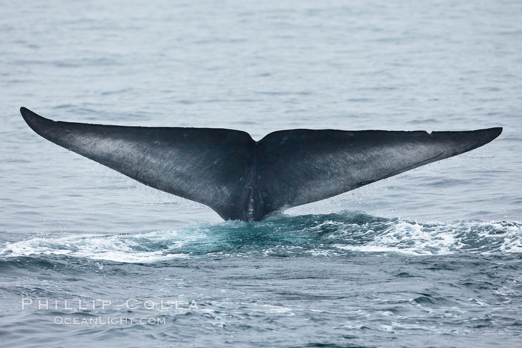 Blue whale fluke (tail) lifted high above the water as the whale dives in the Santa Barbara Channel. Santa Rosa Island, California, USA, Balaenoptera musculus, natural history stock photograph, photo id 27020