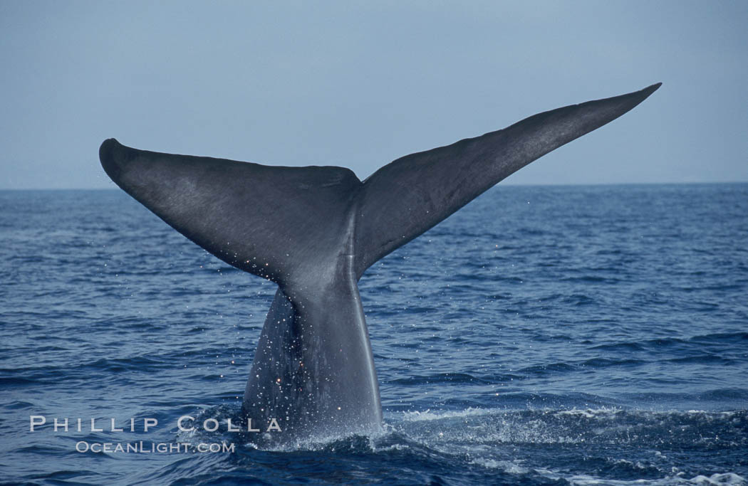 An enormous blue whale raises its fluke (tail) high out of the water before diving.  Open ocean offshore of San Diego. San Diego, California, USA, Balaenoptera musculus, natural history stock photograph, photo id 07557