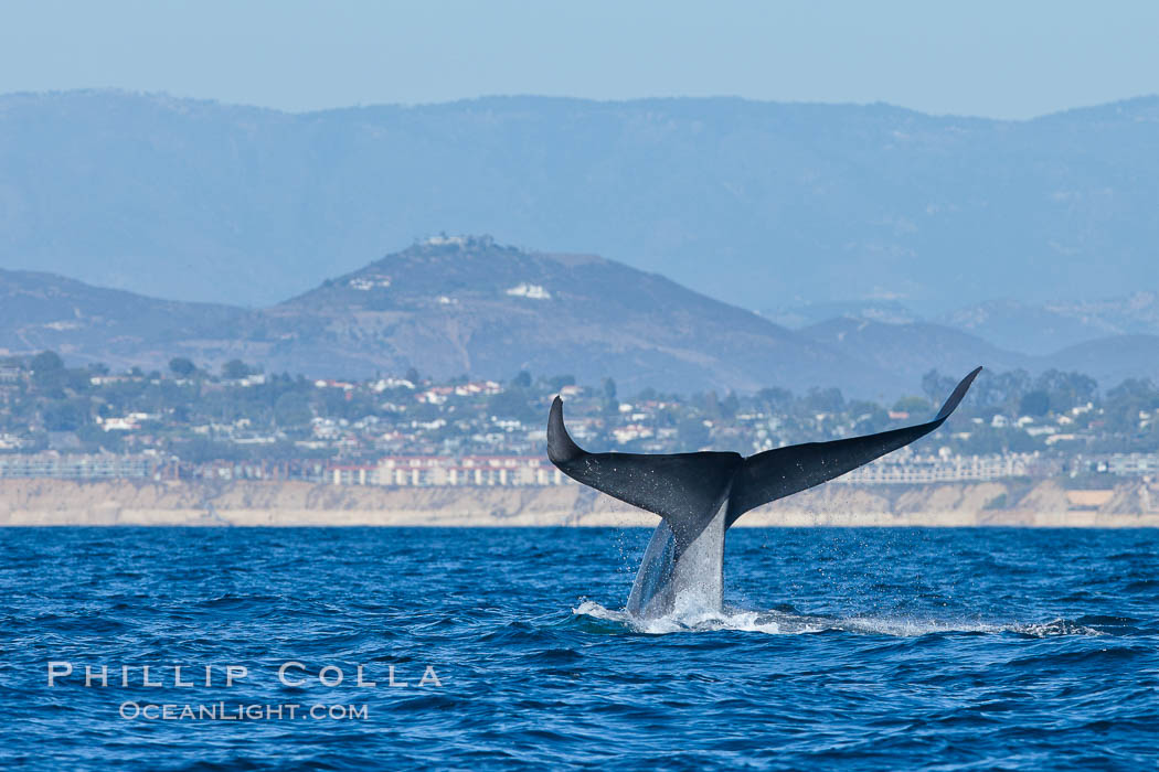 Blue whale fluking up (raising its tail) before a dive to forage for krill. La Jolla, California, USA, natural history stock photograph, photo id 27123