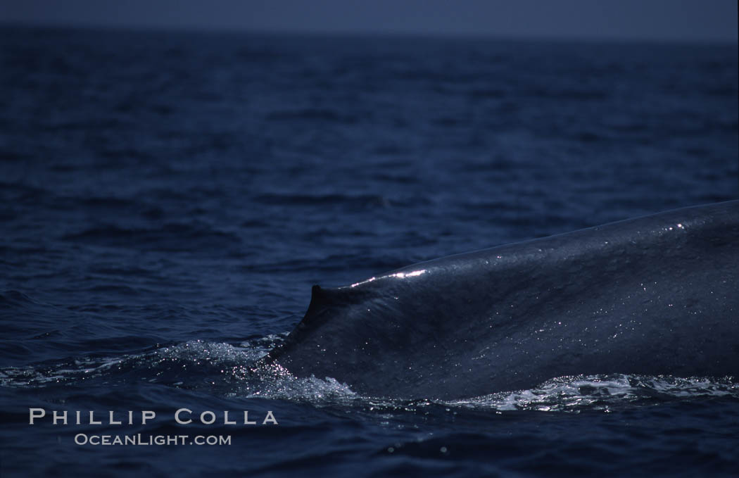 Blue whale, dorsal fin, Baja California., Balaenoptera musculus, natural history stock photograph, photo id 03046