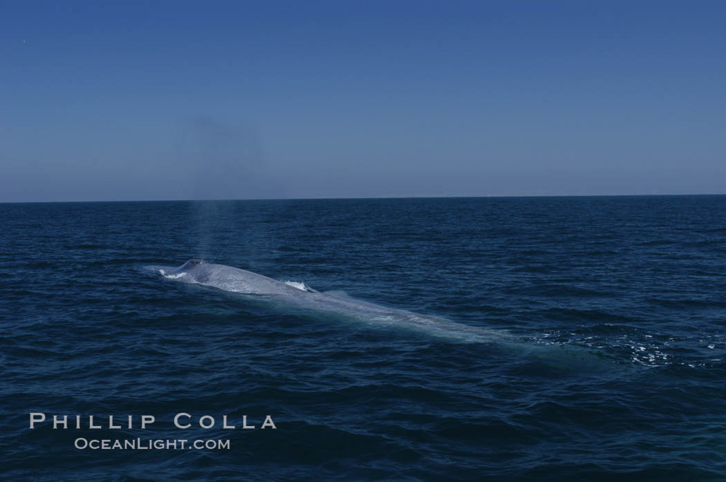 Image 07528, An enormous blue whale is stretched out at the surface, resting, breathing and slowly swimming, during a break between feeding dives. Open ocean offshore of San Diego. San Diego, California, USA, Balaenoptera musculus