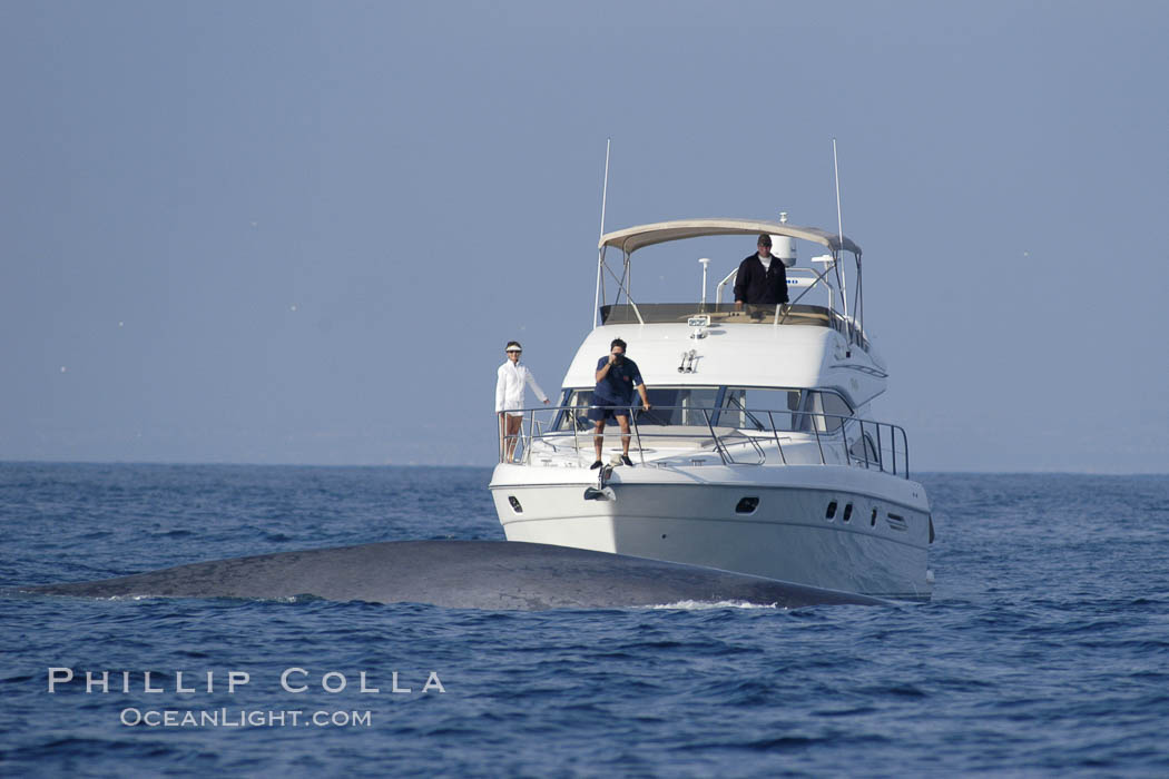 An enormous blue whale swims in front of whale watchers on a private yacht.  Only a small portion of the whale, which dwarfs the boat and may be 70 feet or more in length, can be seen. Open ocean offshore of San Diego. California, USA, Balaenoptera musculus, natural history stock photograph, photo id 07541